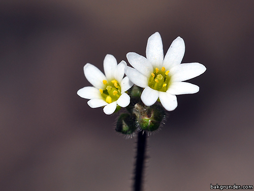 common-whitlow-grass