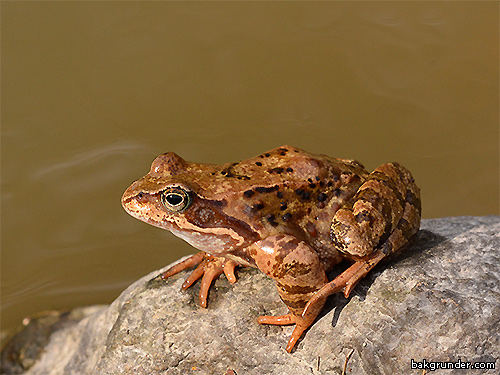european-common-frog2